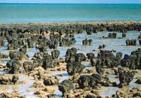 西オーストラリアのシャーク湾に、いまも現存するストロマトライト